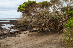 Beach of Fernandina with lava fields and mangrove Royalty Free Stock Image