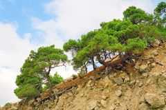 Crimean pine on a rocky mountain slope. The beach Figs ,Balaklava Cape Aya royalty free stock image