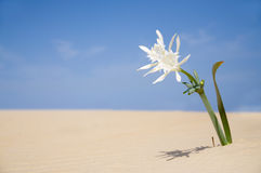 Beach flower Stock Images