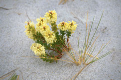 Beach Flower. Wildflower growing on the beach Royalty Free Stock Images