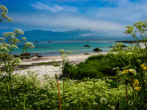 Beach with flowers on the Polar Circle in Lofoten, Norway Stock Image