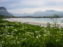 Beach with flowers on the Polar Circle in Lofoten, Norway Royalty Free Stock Image