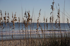 Beach Flowers. And reeds next to ocean royalty free stock photo