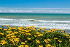 Beach Flowers. Wonderful bright yellow beach flower growing along a beach Royalty Free Stock Photo