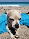 Doggie loves da sand 2. Beach full moon goodvibes lovelife doggie loves sand florida stock photos