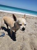 Doggie loves da sand stock image