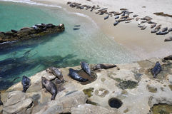 Beach full of seals Royalty Free Stock Images