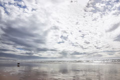 Beach with German Shepherd dog in Agadir at the Atlantic coast. Royalty Free Stock Photography
