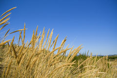 Free Beach Grass Royalty Free Stock Photography - 13050297