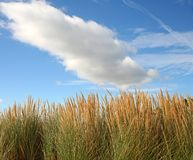 Beach grass. With blue sky and clouds Royalty Free Stock Images