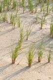 Beach grass. Sprounting from sand dunes on nesting grounds at the beach Royalty Free Stock Photos