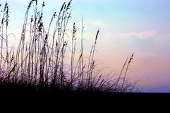 Beach Grass Royalty Free Stock Photography