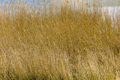 Beach Grass at the Achterwasser in Usedom Royalty Free Stock Image