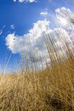 Beach Grass at the Achterwasser in Usedom Stock Photography