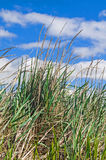 Beach grass against blue sky and white clouds. Beach scene of marram grass against blue sk and fluffy white clouds Royalty Free Stock Photos