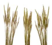 Beach grass (Ammophila arenaria) Royalty Free Stock Image