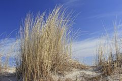 Beach grass on the Baltic Sea Stock Image