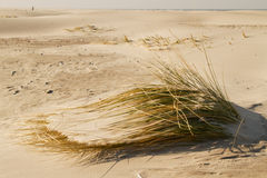 Beach grass buried by shifting sand. Beach grass Ammophila buried by shifting sand Stock Photo