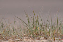 Beach grass close up in soft sand beach. This is a fairly common type of beach grass shown as a close-up in lose sand at a beach. This grass is an important Royalty Free Stock Photography