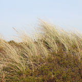 Beach grass and Crowberry in the dunes on the island of Sylt, Ge Stock Photos