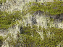 Beach grass and Crowberry in the dunes of Sylt royalty free stock image
