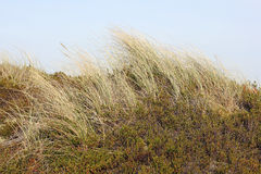 Beach grass in the dunes stock image