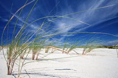 Beach grass (Marram grass) Stock Images
