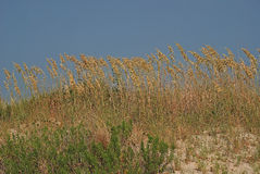 Beach Grass on the Outer Banks Royalty Free Stock Image
