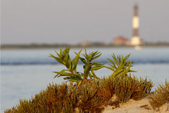 Beach Grass and Plant. Close up of Beach Grass and Plant with Fire Island Lighthouse in the background Royalty Free Stock Photography