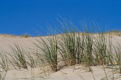 Beach Grass in sand dunes Royalty Free Stock Photography