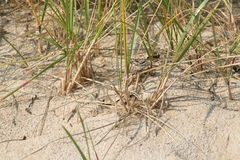 Beach Grass. And Sand on the East coast, USA Royalty Free Stock Photos