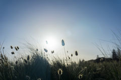 Beach grass silhouette against rising sun royalty free stock image