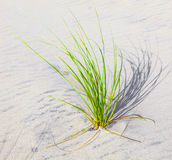 Beach grass on a white dune Stock Photos