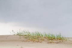 Beach grass on young dune Stock Photo