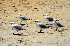 The beach Сhelsi. Seagulls Stock Photos