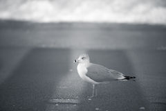 A beach is for him. A seagull looks to the ocean for the next adventure. Singer Island, Florida royalty free stock photo