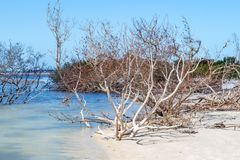 The Beach at Honeymoon Island. Trees growing in shallow water on Honeymoon Island, Florida stock image