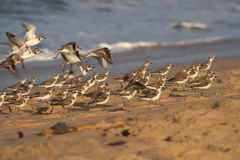 Beach Hopping Plovers. Lesser Sand Plovers flying from one spot on the beach to the other on Payyambalam Beach, Kannur Stock Photography
