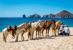 Beach horse rides. Cabo San Lucas, Mexico- April 27/2016 : A Mexican vaquero tends to his horses on a resort beach in Cabo San Lucas as he whats for tourist Stock Photo