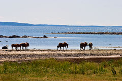 Beach horses Royalty Free Stock Image