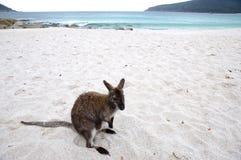 Beach kangaroo - Tasmania Stock Image