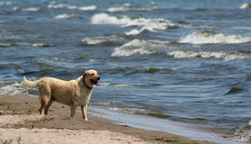 Beach Lab. A yellow lab at the beach Royalty Free Stock Image
