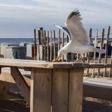 Beach life. Seagull steal food from a table. Stock Images