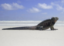 Beach Lizard, Marine Iguana. A marine iguana (amblyrhyncus cristatus) is at a peaceful rest on a sandy beach is highlighted against the surf and sky. This royalty free stock photo