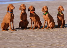 Beach Loving Pointers Stock Photo