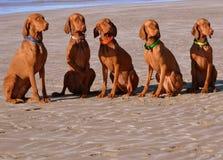 Beach Loving Pointers Stock Photo