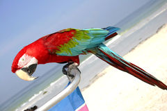 Beach Macaw Royalty Free Stock Photography