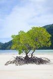 Beach mangrove tree Stock Photos
