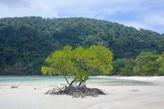Beach mangrove tree Royalty Free Stock Image