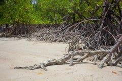 Beach mangrove tree Royalty Free Stock Images